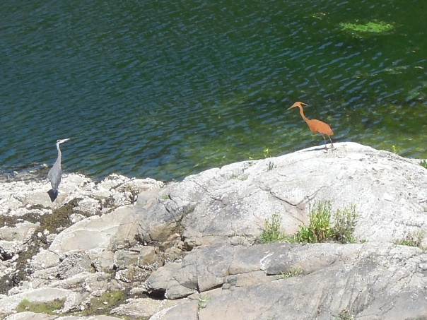 "You can see Great Blue Herons almost anywhere around Georgia Straight.  Who knew they were a species at risk?  Our resident heron ""Rusty"" is doing is best to woo one of the locals and strengthen the cove colony."
